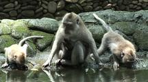 Crab-Eating Macaque/Long Tailed Macaque (Macaca Fasicularis) Mother With Baby Carefully Drinking, Group