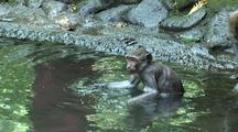 Crab-Eating Macaque / Long Tailed Macaque (Macaca Fasicularis) Infant Monkey Diving