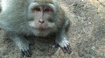 Crab-Eating Macaque / Long Tailed Macaque (Macaca Fasicularis)