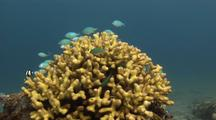 Damselfish (Humbug Dascyllus) And Blue-Green Chromis   Feeding Above Coral Head And Retreating Into It.