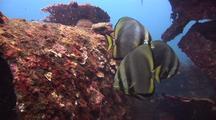 Golden Spadefish On Wreck