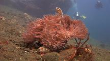 Pink Anemonefish On Anemone With Divers As Background And Wreck