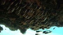 School Of Cardinalfish