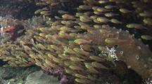School Of Cardinalfish
