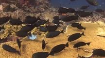 Schooling Reef Fish On Table Coral (Surgeonfish)