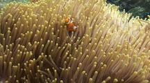 Beautiful Anemone With Clark´S Anemonefish