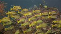 Schooling Reef Fish (Five Lined Snappers)