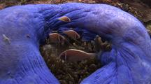 Beautiful Colorful Anemone With Anemonefish