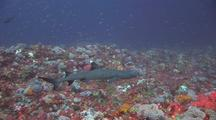 Whitetip Shark On Reef