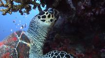 Green Sea Turtle Feeding On Coral