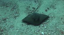 Long Tailed Stingray On Sandy Botton Toward Camera