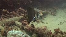 Teira Batfish (Platex Teira) Life On Ship Wreck