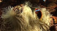 Clown Fish (Anenomefish) And Anenome,Life On Ship Wreck