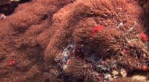 Orangutan Crab In Anemone
