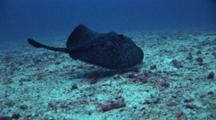 Beautiful Marbled Ray Swims Above Sand Bottom