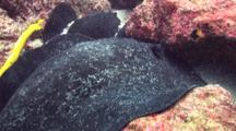 Close Up Of Marbled Ray