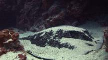 Marbled Ray Covered In Sand Under Ledge