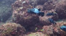 Guineafowl puffer fish swimming,two mating