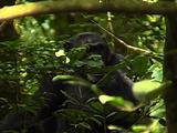 Chimpanzee Looking Around The Forest