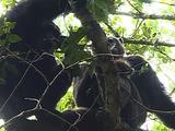 Dominant Chimpanzee Feeding On A Red Colobus Monkey