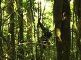 Chimpanzee Climbing Down From A Tree