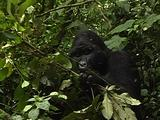 Silverback Mountain Gorilla Feeding On Leaves