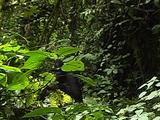 Sliverback Mountain Gorilla Feeding