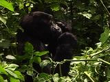 Blackback Mountain Gorilla Feeding On Leaves