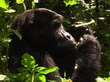 Blackback Mountain Gorilla Feeding On Wild Celery