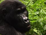 Blackback Mountain Gorilla Portrait