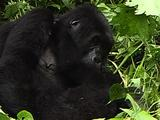 Mountain Gorillas Bonding