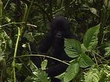 Young Mountain Gorilla Playing