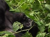 Mountain Gorilla Lying Down Resting