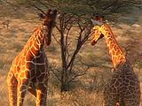 Reticulated Giraffe Fighting