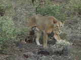 Lioness Walking With Cubs