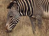 Grevy Zebra Feeding And Walking