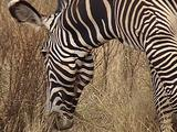 Grevy Zebra Feeding And Walkin