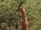 Gerenuk Feeds From An Acacia