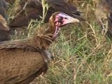 Hooded Vulture Feeding