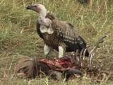 Whitebacked Vulture On A Kill