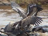 Ruppell Griffon Vulture Squabbling On A Kill