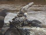 Ruppell Griffon  Vulture On A Kill