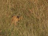 Lion Cubs Run Through Tall Grass