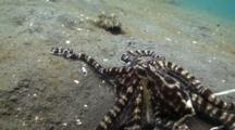 Mimic Octopus (Thaumoctopus Mimicus) Face Off With A Flounder, Flounder Swims Away