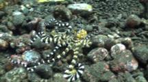 Wonderpus Emerging From The Rocks Swimming Facing Camera