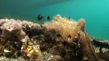Banggai Cardinalfish With Anemone Low Angle