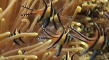 Banggai Cardinalfish With Anemone Close Up 3