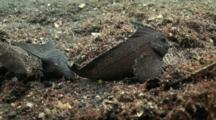 Cookatoo Waspfish Pair Wave On Sand Bottom
