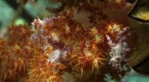 Soft Coral Crab Resting Pair Low Angle 2