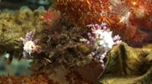 Soft Coral Crab Resting Pair High Angle